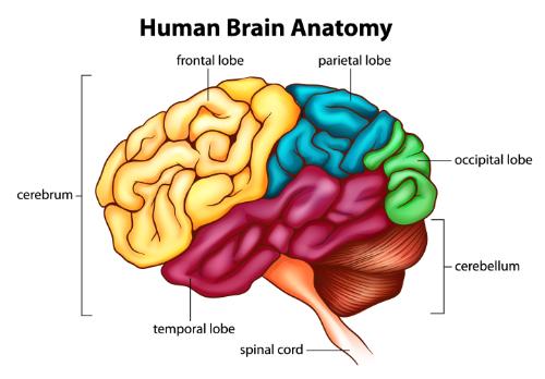 """brainstem"